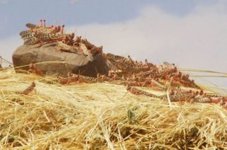 Desert locusts infest crops in the Habru District of Ethiopia on Feb. 4, 2020. | World Vision/Kebede Gizachew